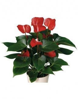 Антуриум (Anthurium Red small) | 15 цветов
